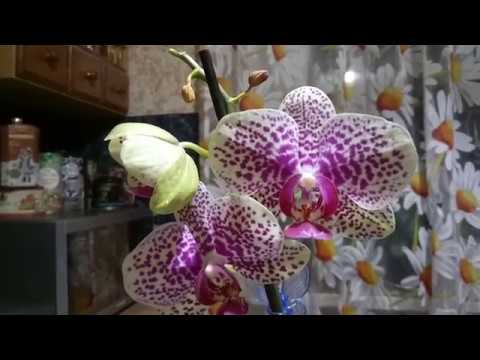 Почему усыхают бутоны на цветоносе орхидеи?