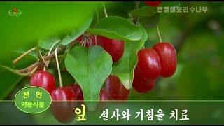 사회문화상식 . 큰열매보리수나무