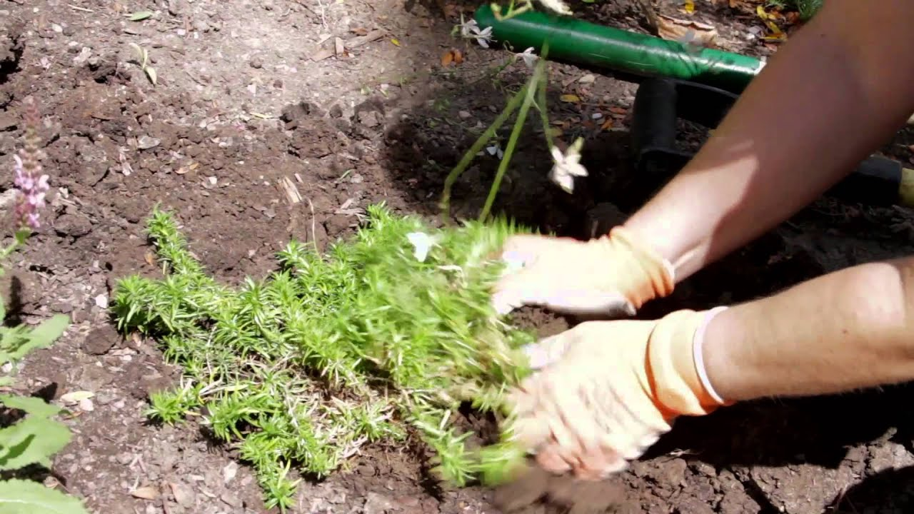 Garden tips how to transplant phlox flowers youtube for How to landscape a garden