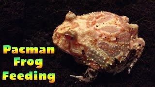 Bilbos Rain Frog Wikivisually