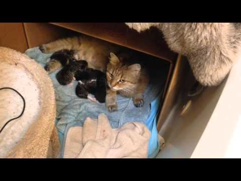 Spellbound Siberian Cats Live Stream