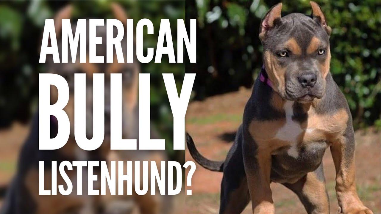 Sind American Bullys Listenhunde Oder Kampfhunde Hundetraining By Vitomalia Youtube