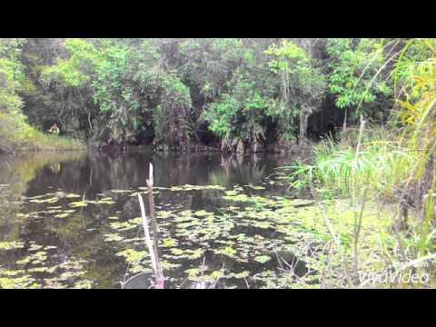Haruan / Gabus / Snakehead fish