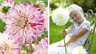 How to Plant Decorative Dinnerplate Dahlias: Jeff Turner on how to plant Dahlia tubers