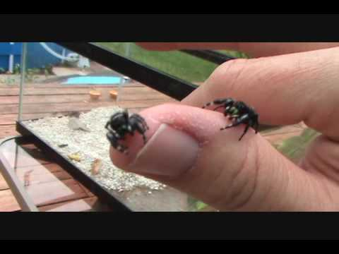 Jumping Spiders Part 2, with Bob, the spider hunter - YouTube