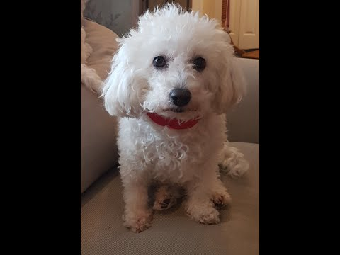 The worlds funniest Guilty Bichons!!