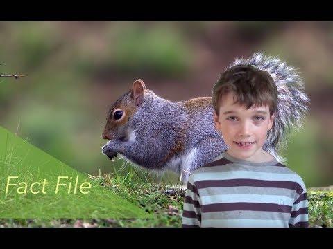 Grey Squirrels Fact File - Mammals