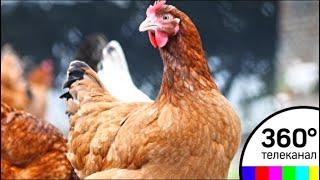 Россия может запретить поставки мяса птицы из Белоруссии - СМИ2