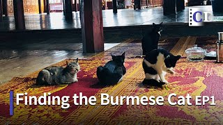 Return of the Burmese Cat EP 1 | China Documentary