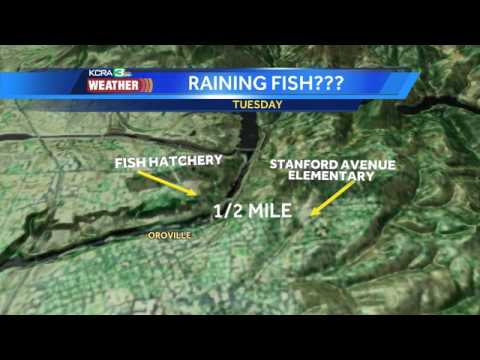 Did it rain fish in Oroville? Possibly.