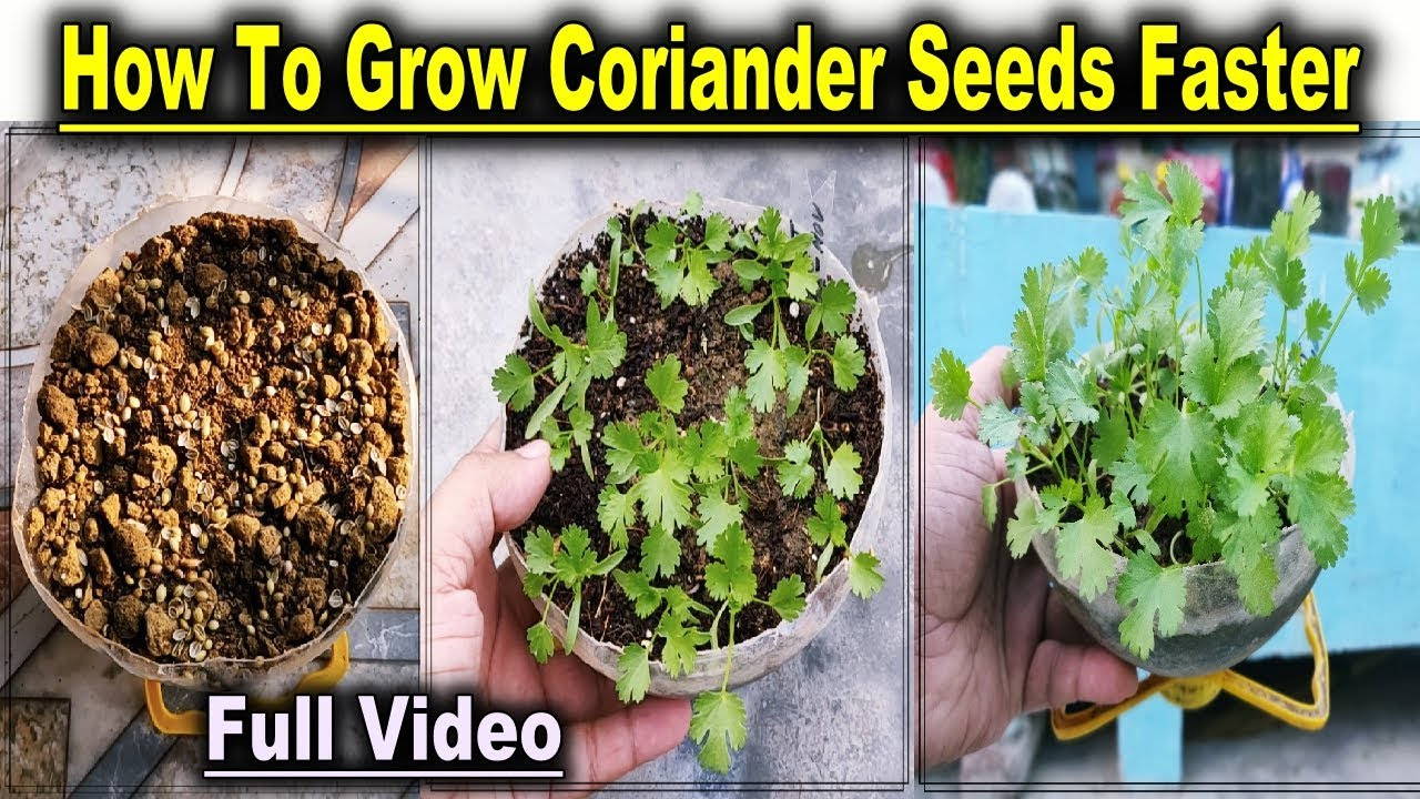 Easiest Method How To Grow Coriander At Home L How To Germinate Coriander Seed Faster Full Video Youtube