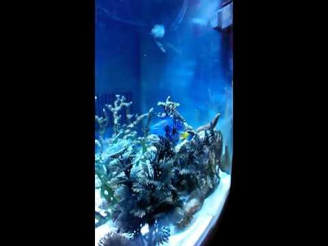 12 Year Old Yellowtail Blue Devil Damsel Fish.