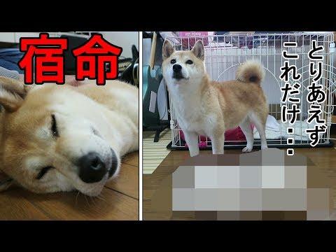 柴犬小春 【これだけ抜けた!】換毛期の柴犬のポテンシャル!