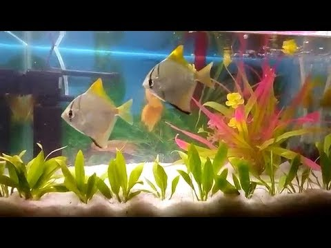 Mono Angel Fish || Monodactylus Argenteus Care & Tank Set Up Guide || Ishika Wild Life