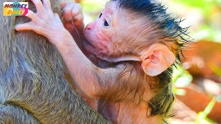 Welcom! New baby newborn in SP group on 08/04/08|Jill monkey give birth so cute baby|Monkey Daily562