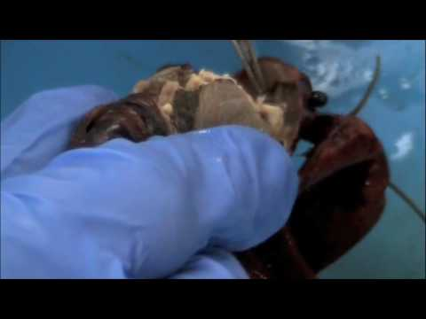 Crayfish Dissection-- Internal Anatomy