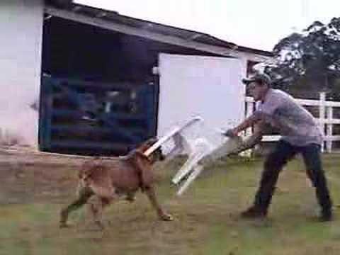 hqdefault Gotti Pitbull Dogs