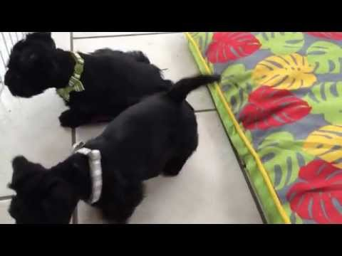 Scottish terrier puppies six weeks old