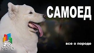 Самоедская собака  - Все о породе собаки | Собака породы - Самоедская собака