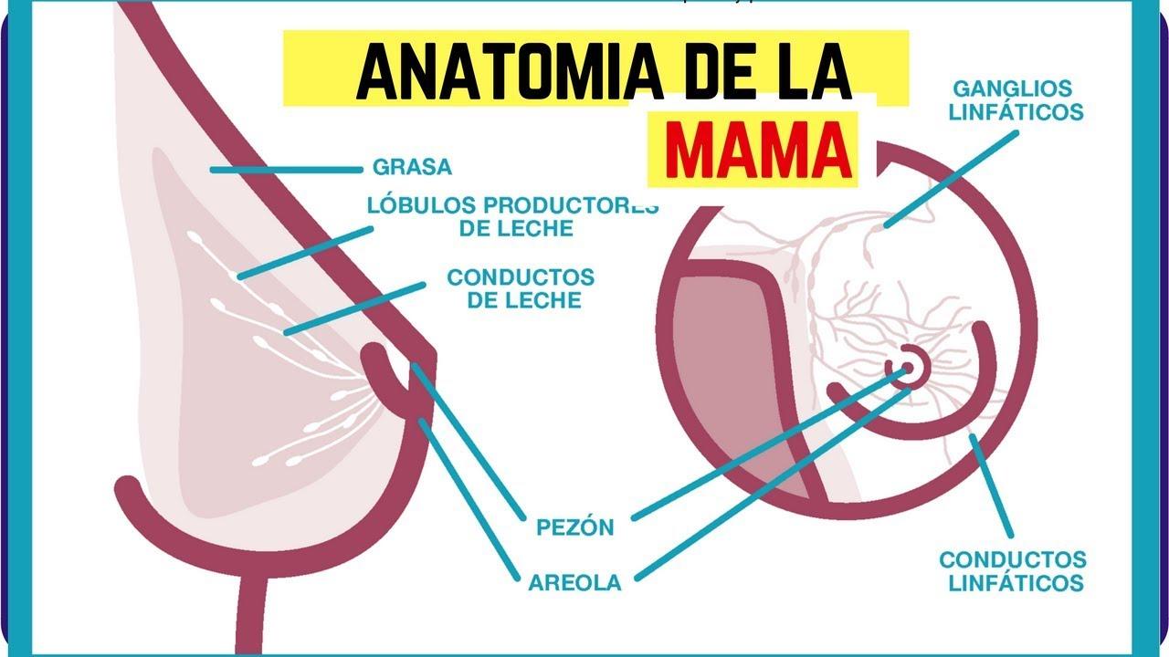 Anatomia De La Mama | Anatomia del seno | Anatomia de la region ...