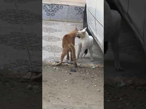 معركة البقاء بين ذكور القطط للظفر بفريسة انثى😂😂 fighting cat funny