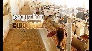 Dairy farm of Ayoob | അയൂബിന്റെ ഗോശാല | Akalangalile India 29 June 2016