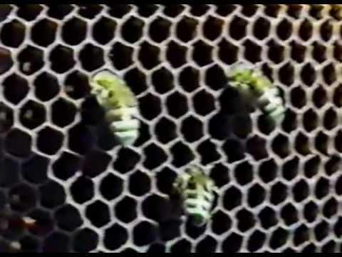 Как размножаются пчелы видео