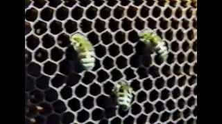 Размножение и развитие пчёл