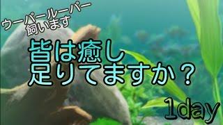 癒しのウーパールーパー育成ゲーム[1day]