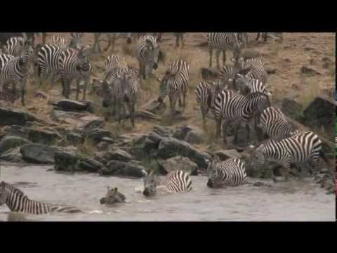 River of Life, River of Death; Wildebeests cross the Mara River by Michael Fairchild.mov