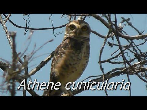 Canto da coruja-buraqueira (Athene cunicularia)