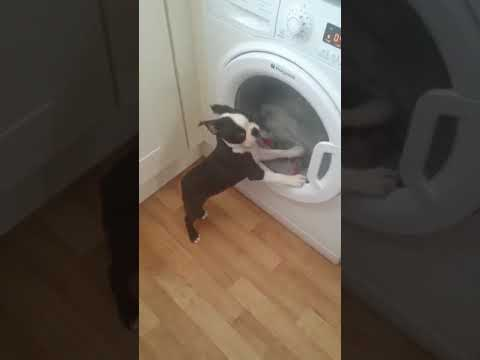 Ralph The Boston Terrier V Washing Machine