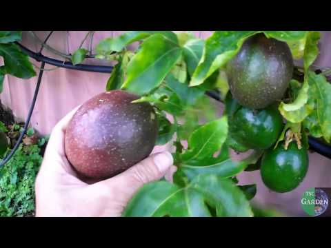 grow Passionfruit like a professional- use a trellis