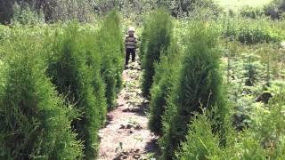 Туя, туя-туя-туя....ИК!(Добрый день! Мы занимаемся выращиванием и продажей растений для ландшафтного дизайна. В ассортименте собст..., 2014-07-02T15:29:05.000Z)