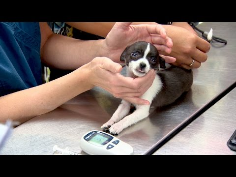 Dangerously Low Sugar Levels Threaten Puppy's Life