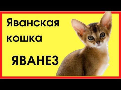 Яванская кошка(ЯВАНЕЗ)
