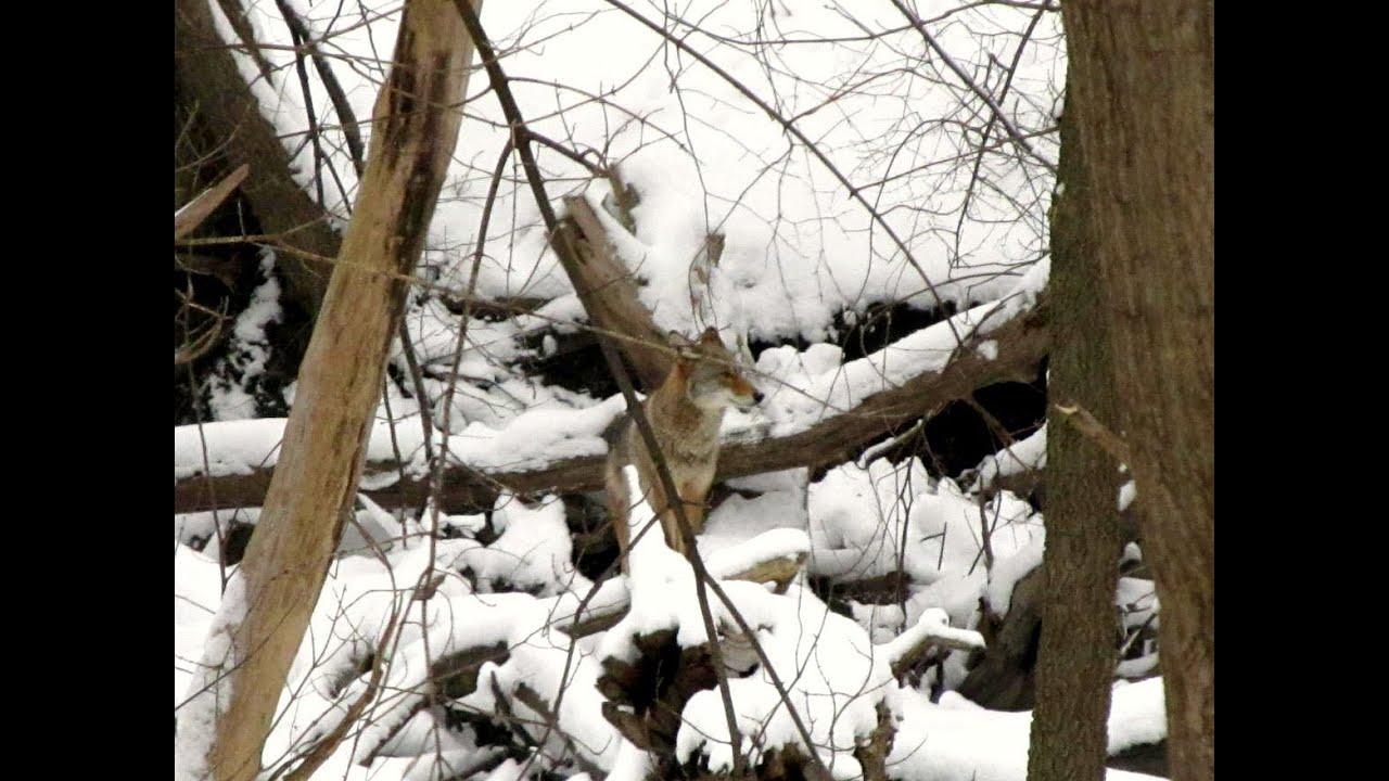 Coyote in Backyard! - YouTube