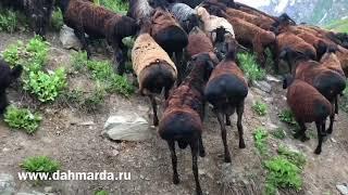 Настоящие гиссарские овцы на высокогорье