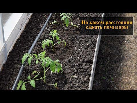 На каком расстоянии сажать помидоры | расстоянии | расстояние | помидоры | теплице | сажать | садить | между | каком | по | на
