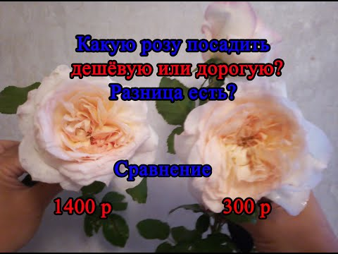 Сравнение дорогой и дешевой розы. Часть первая