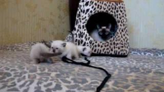 Тайская кошка 3.MPG