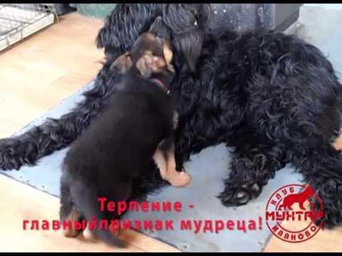 Щенки русского черного терьера, 55 дней - YouTube