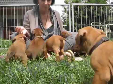 Rhodesian Ridgeback Puppies | D-Litter | Day 34