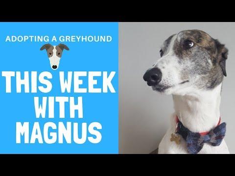 Adopting a Greyhound - This week with Magnus