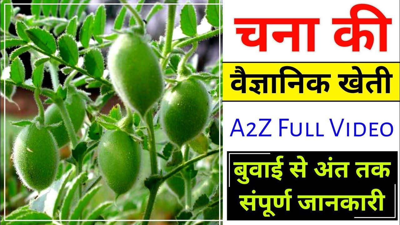 Chane ki kheti | चना की वैज्ञानिक खेती | बुवाई से कटाई तक:- A2Z Video (Hindi) चने की खेती कैसे करें?