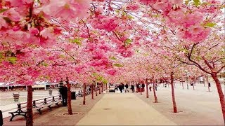 The Most Beautiful Cherry Blossom in the World
