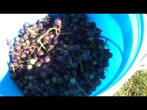 HOMEMADE WINE! HOW TO MAKE! START TO FINISH!