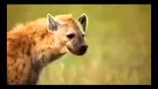 انظر كيف عاقب الضباع الفهد بعد أكله لضبع صغير
