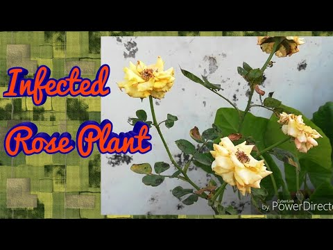 Treatment For My Infected Rose plant