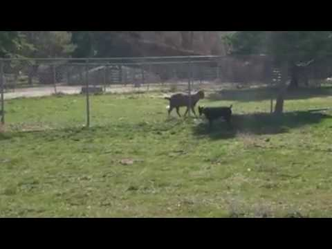 Dog Sees a Goat For The First Time Doberman Pinscher